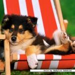 castorland-puzzel-120-stuks-collie-puppy-12572