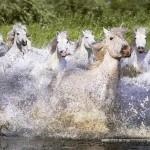 educa-puzzel-1000-stuks-witte-paarden-in-water-15988