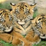 educa-puzzel-500-stuks-tigers-15965
