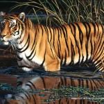 schmidt-puzzel-1000-stuks-tijger-58169